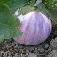 Aubergine - Rosa di Bianca