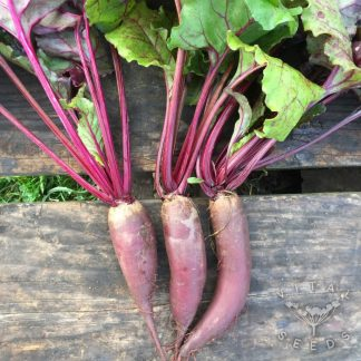 Beetroot - Cylindra (2)