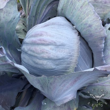 Cabbage - Langedijk Red Late