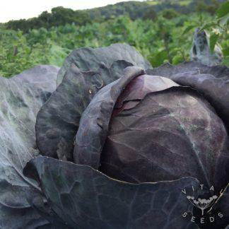 Cabbage - Rodynda