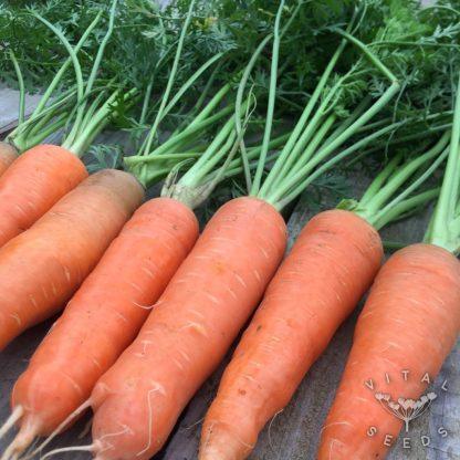 Carrot - Autumn King