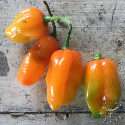 Chilli - Habanero Magnum