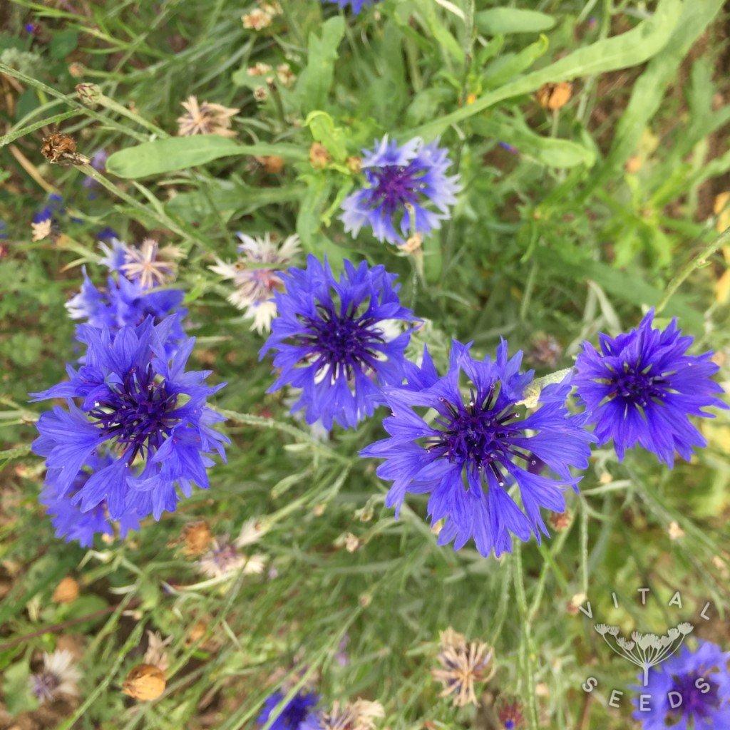Cornflower blue organic vital seeds cornflower blue organic izmirmasajfo