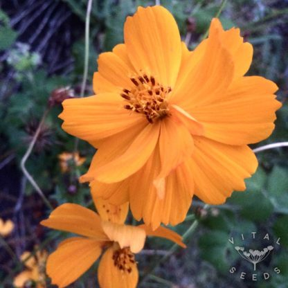 Cosmos - Orange