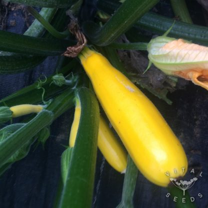 Courgette - Gold Rush
