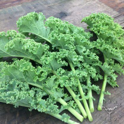 Kale - Dwarf Green