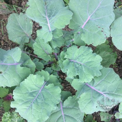 Kale - Red Ruffled