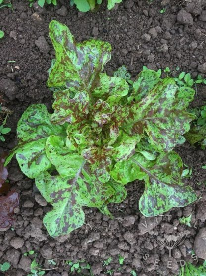 Lettuce - Flashy Lightning Butter Oak
