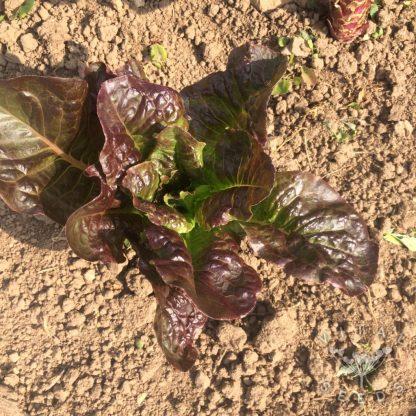Lettuce - Little Leprechaun