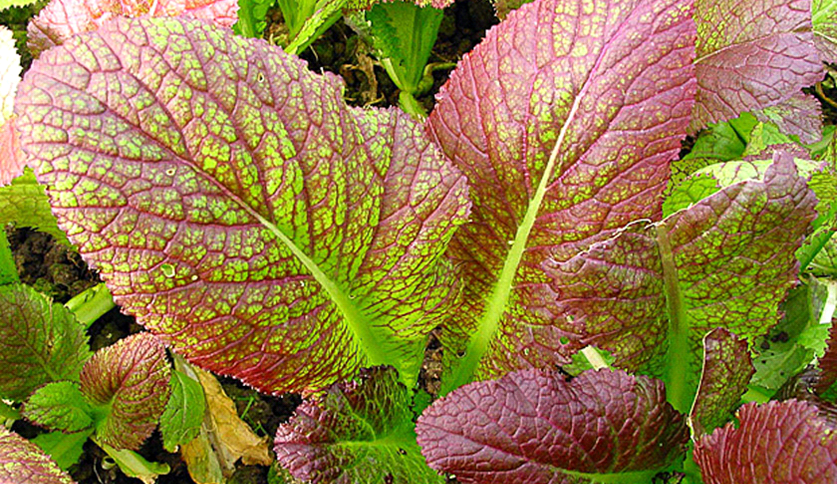 red giant mustard - 837×484