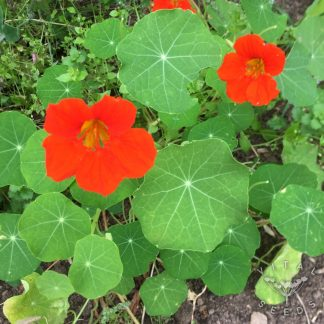Nastursium Seeds