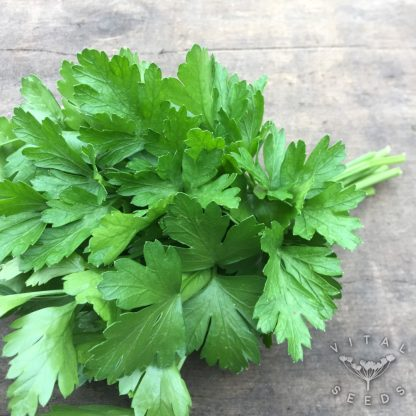 Parsley - Italian Giant