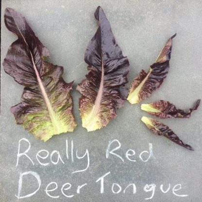 Really Red Deer Tongue lettuce