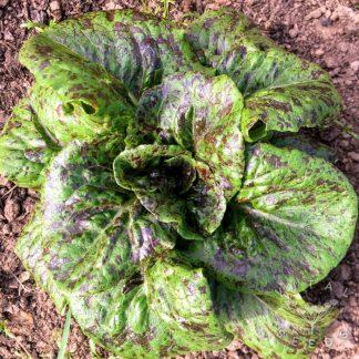 Ruby Zoiste lettuce