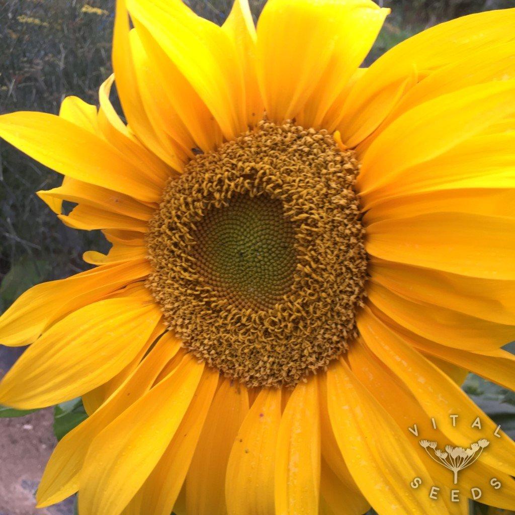 Sunflower - Giant Yellow (Organic)   Vital Seeds