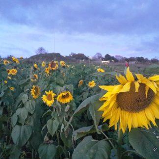 Sunflower - Giant Yellow