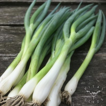 Spring Onion - Ishikrona (4)