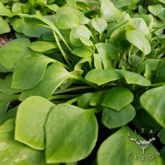 Claytonia 'Winter Purslane' Seeds