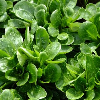 Corn Salad / Lamb's Lettuce Seeds