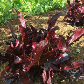 Lettuce - Red Solix