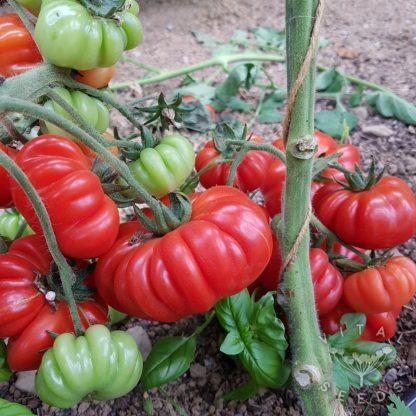 Tomato - Costoluto Fiorentino